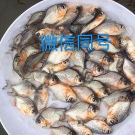 淡水白鲳鱼苗批发价格红鲳鱼苗出售白鲳鱼苗大量供应