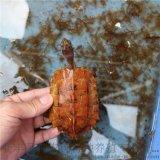 地龜 楓葉龜 楓葉龜活體養殖場批發