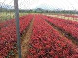安徽肥西色块小苗红叶石楠,红花继木,海桐,金森女贞小苗价格图片