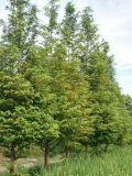 成都出售12公分水杉温江水杉基地6-18公分直销存活率高树型不偏冠