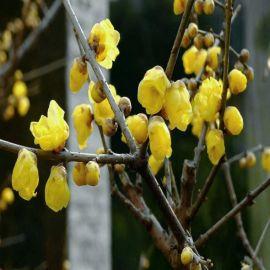 腊梅苗树桩盆景批发嫁接腊梅小盆栽地栽红绿梅花树苗素心腊梅种子
