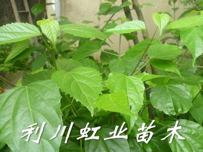 豆腐树苗/用神奇斑鸠叶制作鬼豆腐