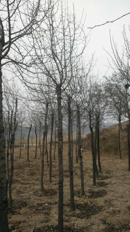 山西哪余有5-6公分杜梨樹
