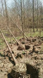 安徽肥西  水杉,垂柳,合欢,马褂木,重阳木,无患子,红榉树