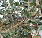 黄杨提取物漆黄素buxus sinica()