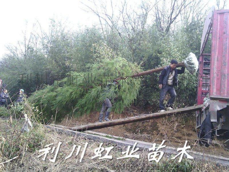 柳杉樹苗/米徑10公分(胸徑10公分)柳杉樹苗