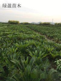 苏铁凤尾蕉园林灌丛苏铁树园艺优良苗木供应