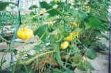 微型观赏南瓜种子  金童玉女