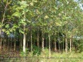 江西马褂木供应 马褂木报价 马褂木苗圃