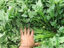 銷售脫毒紅薯苗優質高產高澱粉紅薯苗
