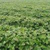 脫毒紅薯苗基地-脫毒紅薯苗銷售