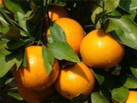 耙耙柑柑橘一年杯苗 哪里有苗木出售 种植时间