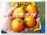 正宗融安脆蜜金柑苗原产地新产上市