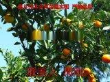 蘇州果樹苗木基地 別墅果樹種植 蘇州地產水果樹苗圃