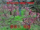 蘇州梅花樹苗圃基地 造型梅花樹 光福香雪海梅花
