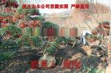 苏州造型火棘 造型红果 别墅庭院用景观造型树基地
