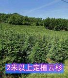 供应2-2.5米青白扦云杉树