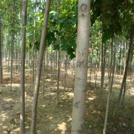苗圃常年直销  3-22公分马褂木