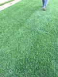 基地直销草坪、草皮卷、果岭草