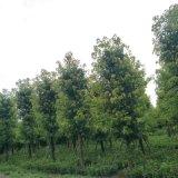 成都精品香樟基地香樟熟货低价格批量供应货源充足