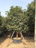 云南金桂,云南高度4米金桂价位,云南地栽苗桂花树