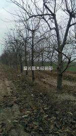 8公分桃树产地 8公分占地桃树哪里有卖?