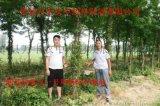 山东皂角种苗树批发量大从优
