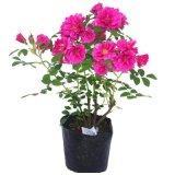 居家庭院种植食用玫瑰花玫瑰苗大马士革盆栽月季花月季苗工程苗木