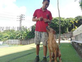 深圳寵物訓練深圳訓犬拉布拉多訓練免費接送