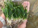 厂家直销批发矮生苦草 水体净化沉水植物 苦草种苗