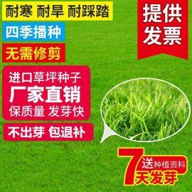 草坪种子美国四季青草坪狗牙根百慕大马尼拉护坡草籽不修剪耐践踏