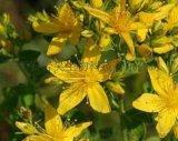 巖昊生物0.3%貫葉連翹提取物金絲桃素