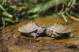 地圖龜 密西西比地圖龜 活體寵物觀賞龜