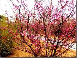 红梅桩 红梅苗 红梅花苗 红梅花 梅花苗 盆景红梅桩