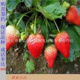 特价销售章姬草莓苗 红颜草莓苗 丰香草莓苗