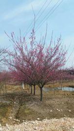 安徽肥西供应红梅,嫁接红梅小苗,丛生红梅,骨红红梅