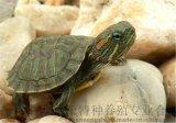 巴西龟苗 小巴西龟苗 活体巴西龟 宠物龟