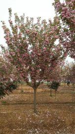 安徽合肥  樱花,红枫,垂丝海棠,肥西鸡爪槭价格图片苗木基地