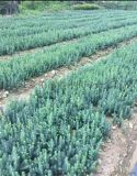 吉林出售克羅拉多美國藍杉樹苗