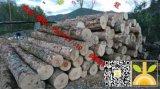 尚高木业长期供应枫木原木新伐大径材,木材紧密纹理均匀