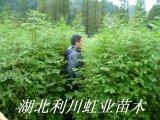 水杉树苗/1.5米以上的水杉树苗价格