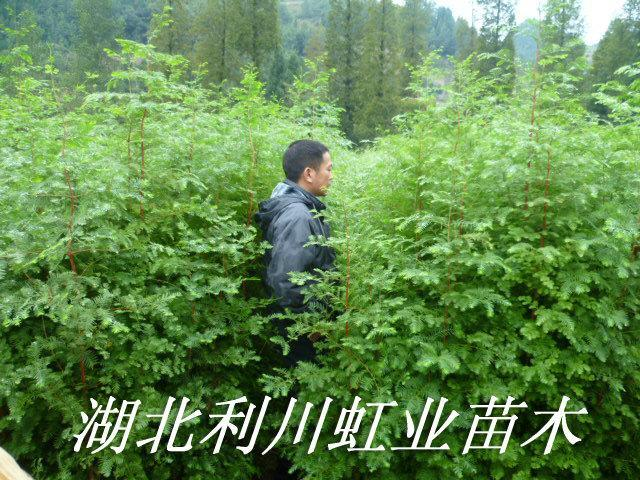 水杉樹苗/1.5米以上的水杉樹苗價格