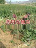 最新河南连翘苗 河南连翘苗价格 河南连翘苗批发种植