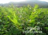 黄柏小苗、黄柏小苗价格、20-60厘米黄柏小苗
