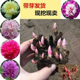 批发芍药花苗 盆栽地栽芍药牡丹芍药种苗 当年可开花四季盆栽种球