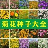 花卉種子百日草花種波斯菊種子萬壽菊野花組合種子金盞菊四季花籽