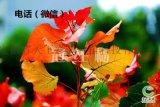 一樹多色的冠紅楊是楊樹嗎
