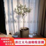 浙江义乌橄榄树盆栽灰白色调大规格