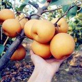 梨树苗北方种植梨苗庭院地栽盆栽南方种当年结果抗寒嫁接苗果树苗