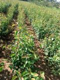 杜梨苗价格 山西杜梨小苗 山西哪里有杜梨苗出售